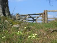 Primroses on Stoney Lane
